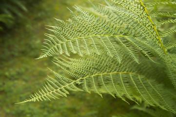 Ferns along trail;  Sitka, Alaska