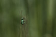 Beautiful,interesting green small insect  is resting