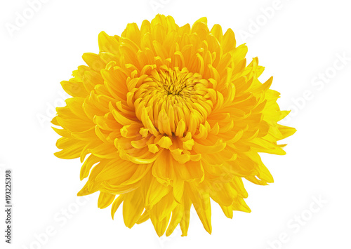Foto Murales Yellow chrysanthemum flower head