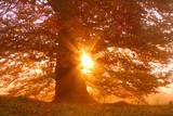 Sunset beech tree - 193232723