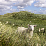 Sheep Sylt island Germany - 193245763