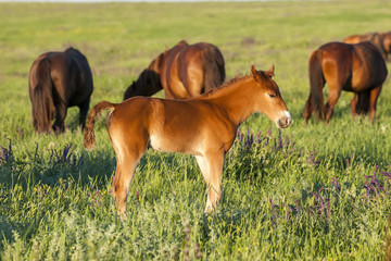 Horse foal on pasture. A herd of wild horses shown on Water island in atmospheric Rostov state reserve