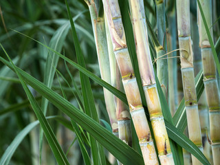 fresh sugarcane in garden. © MrPreecha