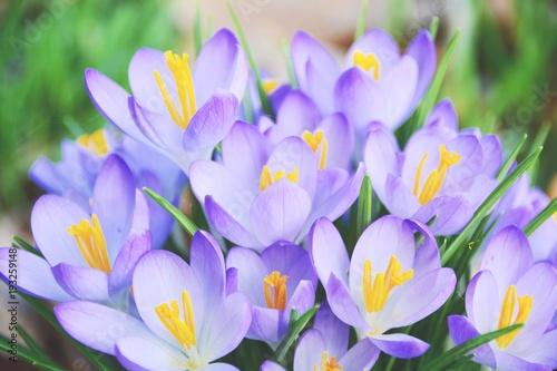 Keuken foto achterwand Purper Frühling - lila Krokusse - Blumenwiese
