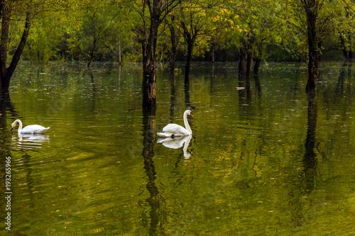 Aluminium Zwaan The white swans in Spring Flood