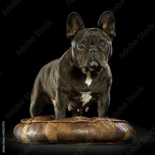 Staande foto Franse bulldog Französiche Bulldogge