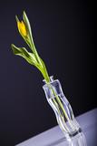 Tulipan w wazonie