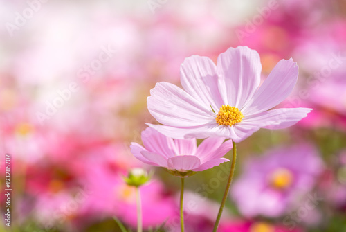 Aluminium beautiful pink cosmos flower in garden