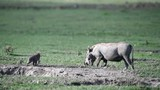 Warthog with two babies eating grass - 193288150
