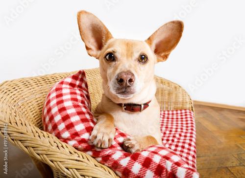 Papiers peints Chien de Crazy dog resting in bed with blanket