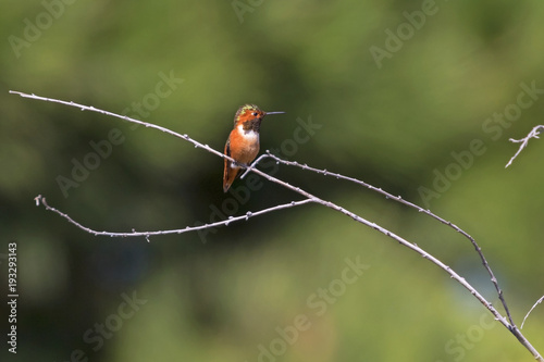 Hummingbird at the Malibu Lagoon park Poster