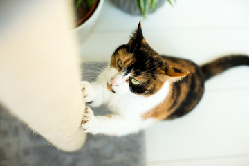 Süßes Kätzchen kratzt an dem Kratzbaum   © ajlatan