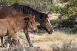 Wild Horses Lower  Salt River Tonto National Forest Mesa Arizona - 193298529