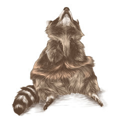 raccoon sitting and looking up with raised legs, sketch vector graphic colored drawing