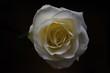 White rose - 193319177