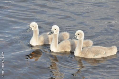 Aluminium Zwaan Litte swans