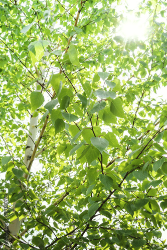 Plexiglas Berkenbos Spring background with bright green leaves of birch opposite the bright sun. Soft focus.