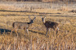 A White-tail Deer Couple in a Field