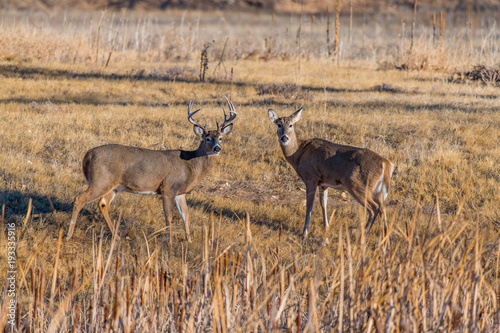 Fotobehang Hert A White-tail Deer Couple in a Field
