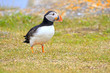 Atlantic Puffin foraging in a grass meadow,  Newfoundland, Canada