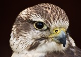 A Saker Falcon (Falco cherrug) on a black background.