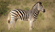 Zebra and its Stripes