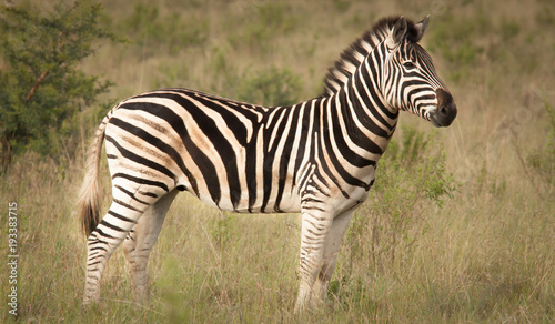 Zebra and its Stripes