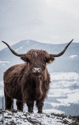Fotobehang Bison Winterzeit