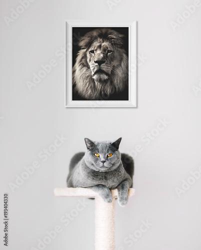 Fotobehang Lion British Shorthair cat and lion portrait above.