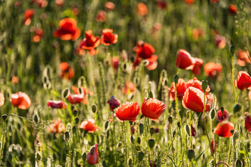 Amazing poppy flowers in the field. Landscape. Panorama. Nature photo. Outdoor