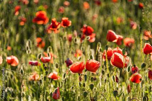 Fotobehang Klaprozen Amazing poppy flowers in the field. Landscape. Panorama. Nature photo. Outdoor