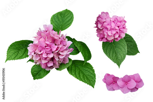 Plexiglas Hydrangea Pink hydrangea flowers with green leaves. Isolated, white background.