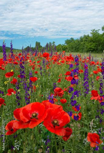 Fototapeta A beautiful field of flowering poppies. red flowers, motley grass. landscape