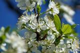 Blooming cherry flowers in trees - 193434370