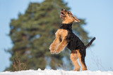 happy airedale terrier puppy jumping up