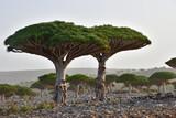 Endemic Dragon tree of Socotra Island on Yemen - 193449720