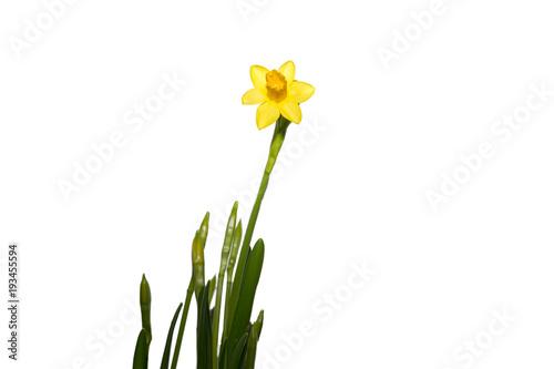 Gelbe Osterblume - narzisse isoliert auf weß