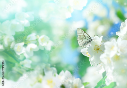Natural background with butterfly on the branch of blooming jasmine. Spring scene. - 193461163