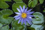 Water Lily, Lotus - 193471179