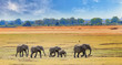 Постер, плакат: African Elephants walking across the open plains in South luangwa national park zambia southern africa