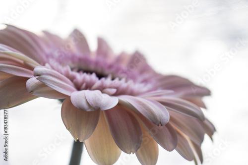 Plexiglas Gerbera Gerber. Macro pink Gerber Daisy. Pink flower.