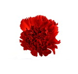 Beautiful red carnation flower isolated on white background. Flower head.