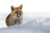 Red fox into the snow - 193481192