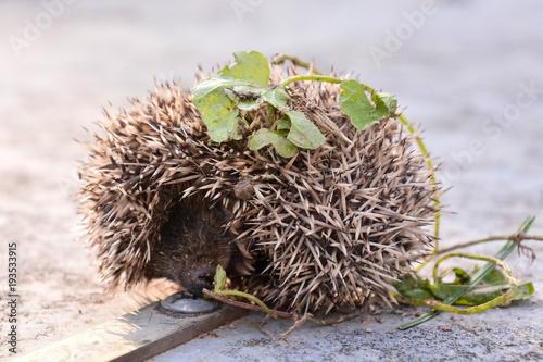 European Hedgehog Mammal Animal