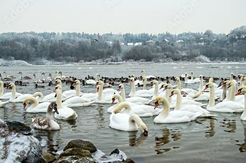 Aluminium Zwaan A lot of swan in the river at winter