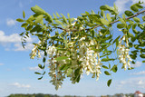 Flowering acaciaBranch of the flowering acacia tree on the background of the sky - 193534321