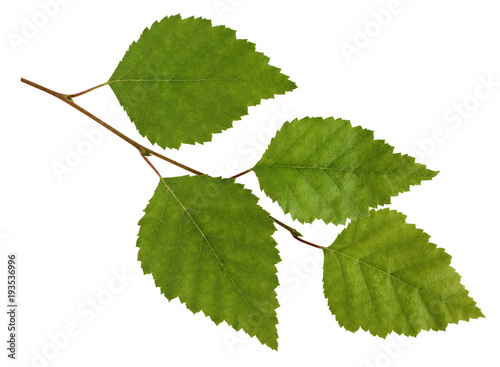 Birch branch with leaves isolated on white background. - 193536996
