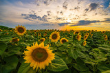 Vibrant sunflower field close-up in sunset in summer