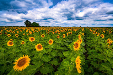 Vibrant sunflower field in summer