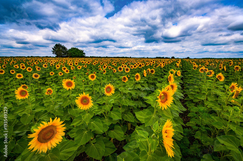 Fototapeta Vibrant sunflower field in summer